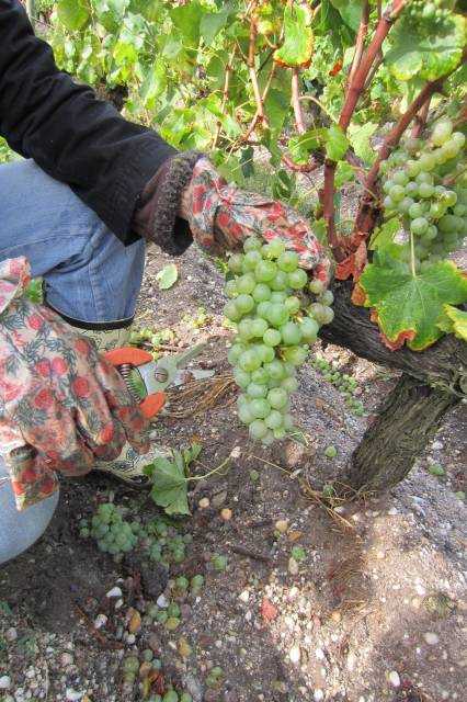 Harvesting white grapes at Le Sartre